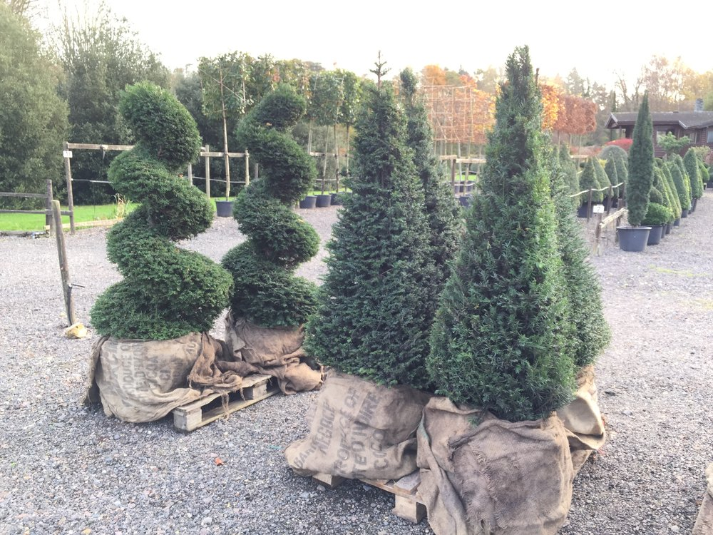Taxus baccata Pyrmids and Spirals