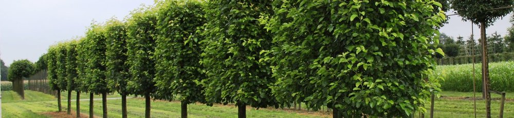 Carpinus betulus mature pleached trees