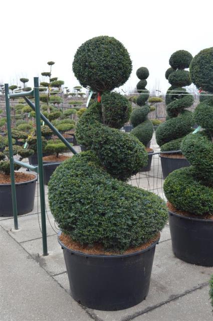 Yew spiral