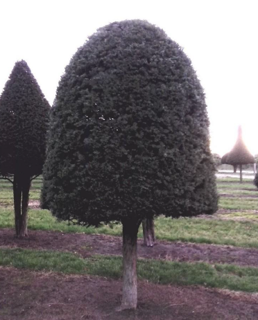 Large Yew Beehive on a stem