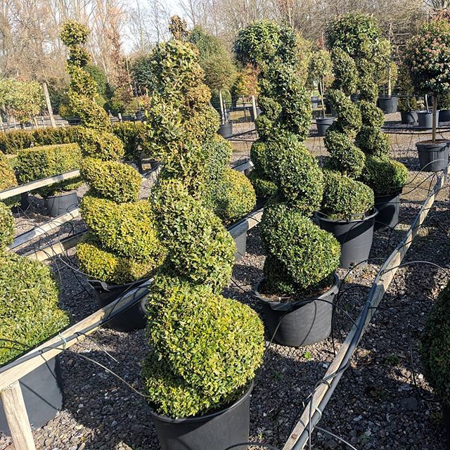 #spiral #topiary