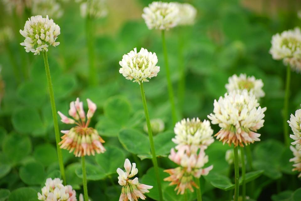 Clover — Baglietto Seeds