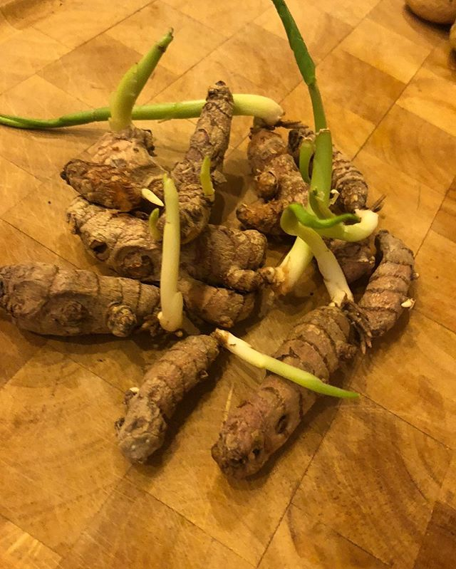 At SuperFd we are suckers for alliteration so happy Turmeric Thursday everyone!! Our own @chefrobertwood planted some turmeric a couple months ago and we thought we should share it  #healthyfood #growyourown  #knowhowtogrow  #localfood #nutrition #tastyturmeric #realmedicine