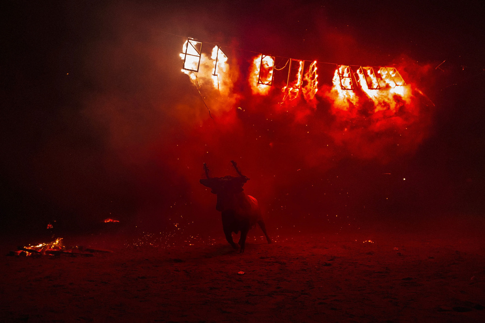Fireworks  explode around the  bull  after the fire of its flammable balls have been consumed during the ' Toro de Jubilo '  fire  bull festival on November 16, 2014 in  Medinaceli , Spain.  Toro de Jubilo , a  Fire Bull festival , is an ancient tradition held annually at midnight in the Spanish town of Medinaceli. The event starts when flammable balls attached to a bull,s horns are set alight. The  animal  is then untied and revellers dodge it until the flammable material is consumed. The body of the animal is covered with mud to protect it from burns.