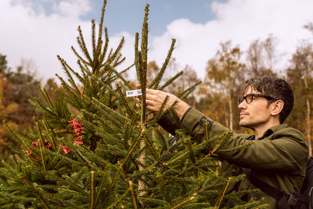 Selecting cut-your-own Christmas tree Wilderness Woods, Sussex