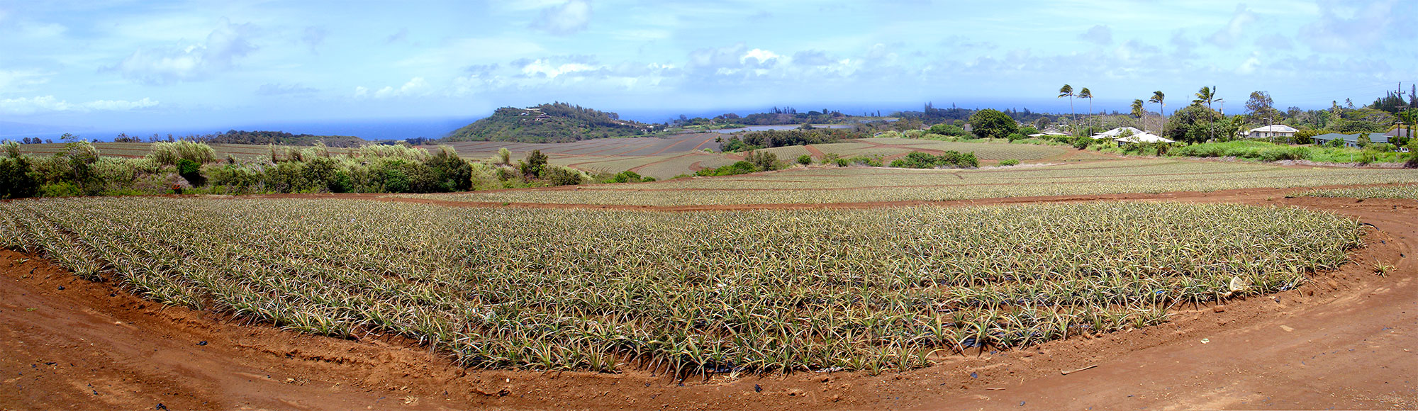 panorama of the pineapple fields