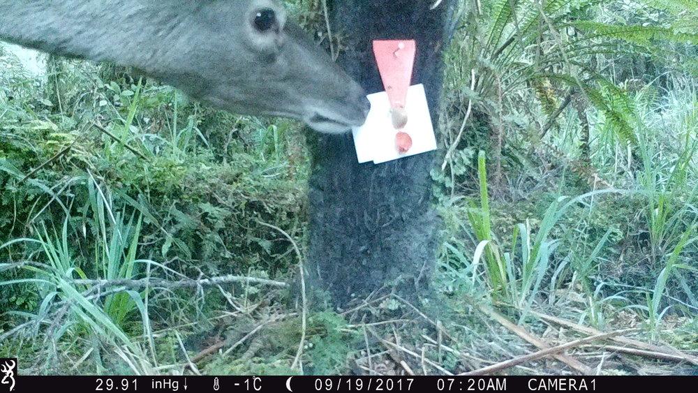 Deer, 19 August 2017