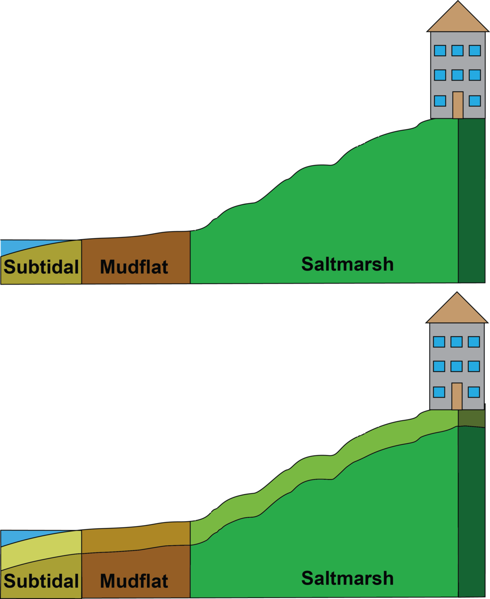 Top: Initial conditions in the wetland.  Below: Habitats build in place with sediment as sea level rises.