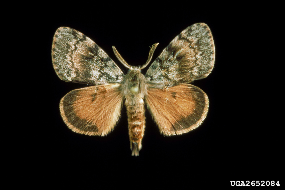 Male Asian gypsy moth. Photo courtesy of Oregon Department of Agriculture.