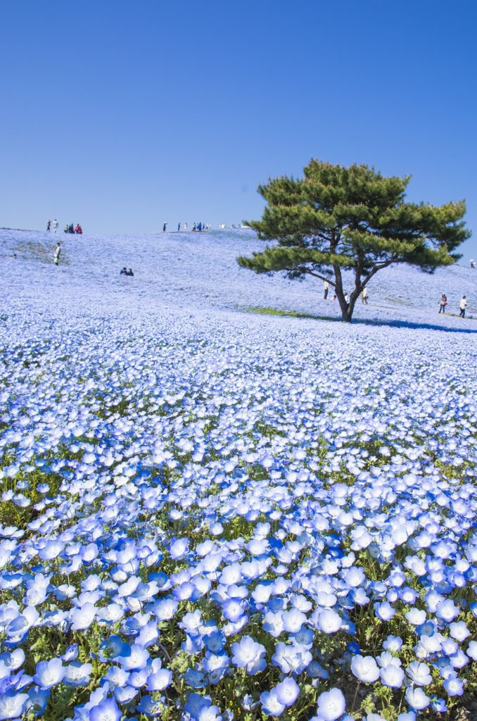 The   Hitachi Seaside Park   in Ibaraki, Japan is a 470-acre reserve filled with the most gorgeous flowers I've never seen in person. I think Selena Gomez's 'Come and Get It' music video was filmed here!