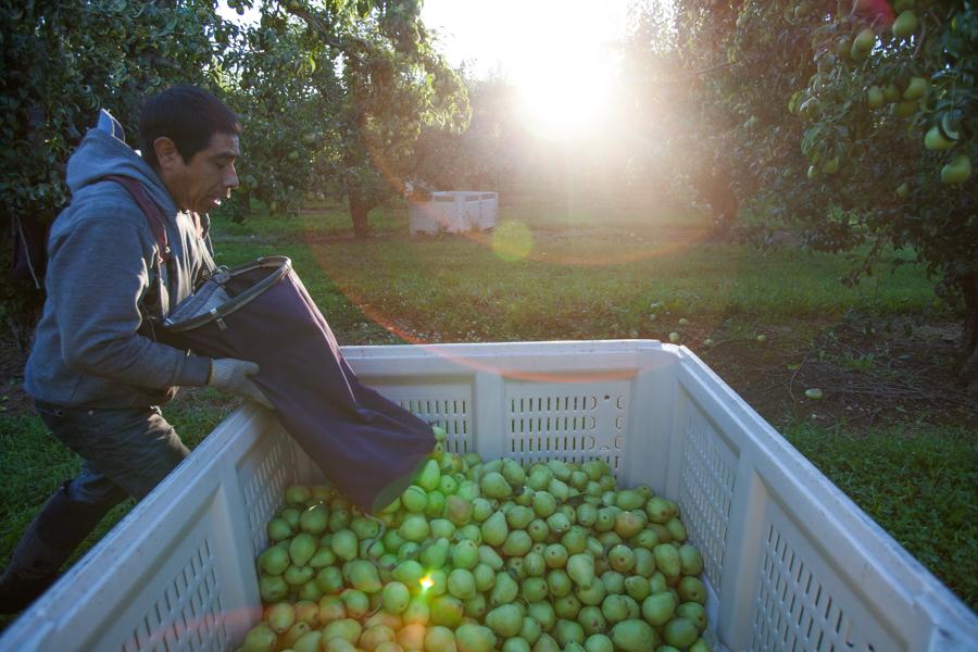 PFM - Kiyokawa harvest 00935.jpg