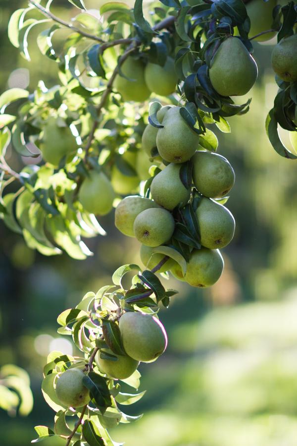 PFM - Kiyokawa harvest 00513.jpg