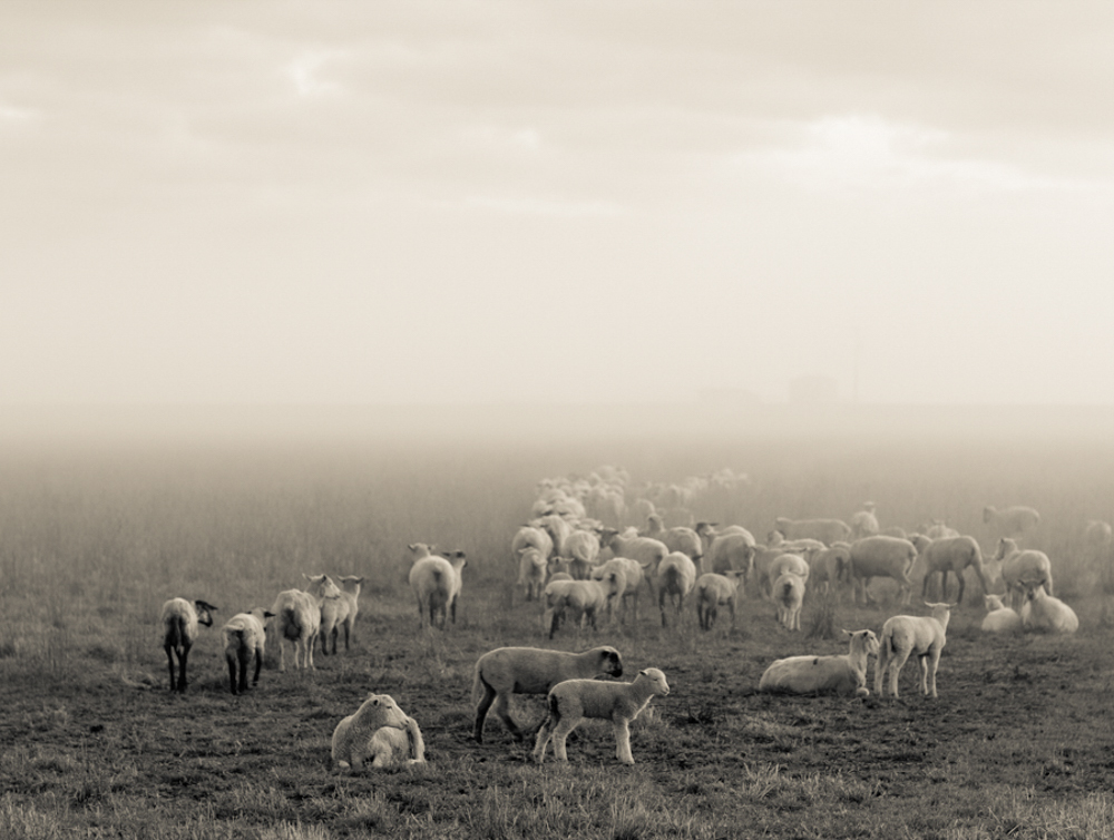 Sheep in a foggy field-4.jpg