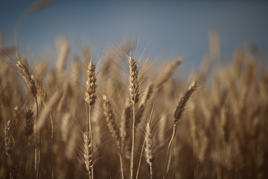 Kens Book - Wheat lo-res - copyright by Alan S. Weiner00026.JPG