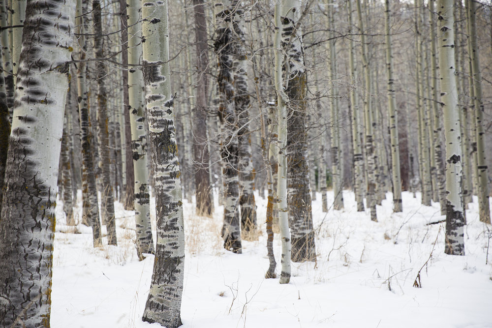 aspens in snow - small copy.jpg