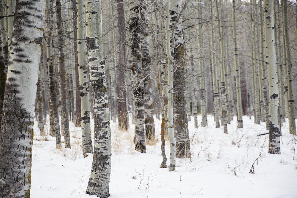 aspens in snow - small copy.jpg