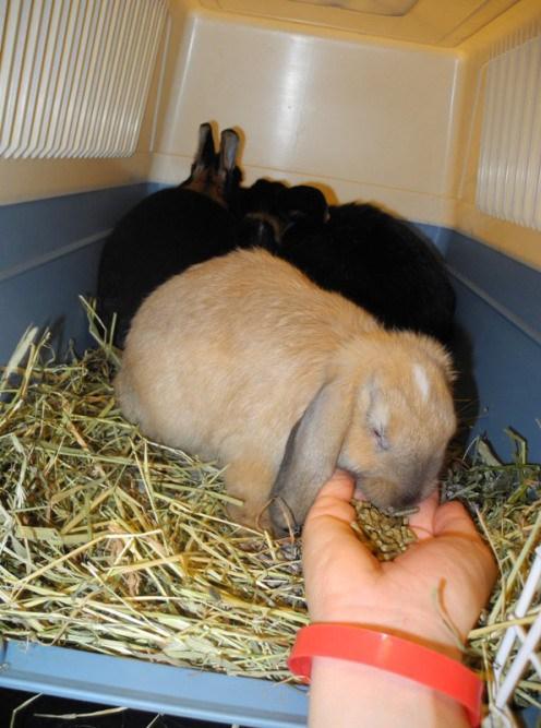 Even smaker på litt pellets i reiseburet. Harald og Melis er med. Jeg anbefaler å ha med kaninkompiser på klinikken og ikke separere dem.