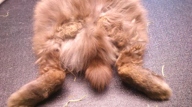 Store og svært smertefulle klumper i pelsen til Brage    Foto: Marit Emilie Buseth