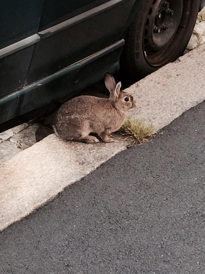 Jeg fikk telefon om en kanin som var observert i Oslo sentrum. Kaninen hadde kun tørt og skittent ugess som vokste fem mellom brostein, og gjemte seg under biler. Naboer hadde sett henne i to tre dager uten å klare å redde henne inn. Heldigvis kontaktet de etterhvert Dyrebeskyttelsen.