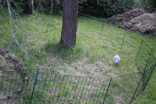 Eksempel på inngjerdet kanin. Her kan man innskrenke området ved hjelp av ytterligere gjerder. Foto: Marit Emilie Buseth