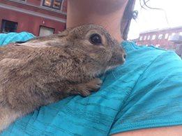 Etter noen timer fikk vi endelig tak i kaninen. Det tok ekstra tid da hun smatt opp i motoren på bilen.Her holder jeg det lille dyret etter at jeg hadde fått tak i henne i inngjerdingen.