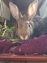 Kaninen spiser høy og sovner raskt. Sliten, sulten og tørst.