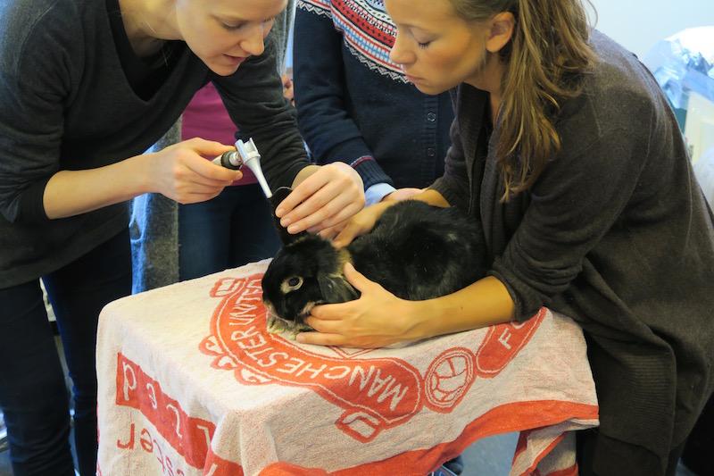 """Harald er vant til å undersøkes, og her holder han også kurs på Veterinærhøyskolen. Under et kaninkurs for veterinærer hvor jeg også foreleste,var han og de andre kaninene mine """"lærere"""" på den praktiske biten av kurset. Her ser dere hvordan de øver seg på å se i kaninører med otoskop.Harald er tålmodig."""