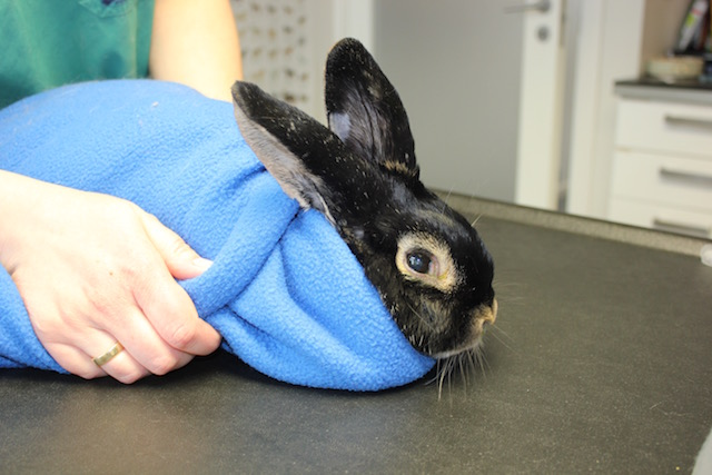 Harald er pakket inn i en kaninburrito før de skal rense ørene. Det er fint for å holde kaninen i ro.