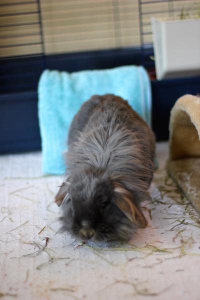 Mari tar sine første steg i akutthjemmet. Begge kaninene hadde problemer med balanse og bevegelighet etter sju stillesittende liv. Foto: Marit Emilie Buseth