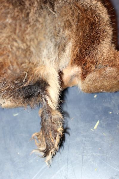 Halen til Melissa måtte barberes og renses. Den var både sår og vond etter vanskjøtsel. Etterhvert vokste det frem fin pels på haletippen igjen.