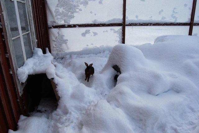 Det blir vinter hvert år, og kaninene vil ha behov for å løpe og bevege seg hver dag året rundt. Foto: Katarina Vallbo.