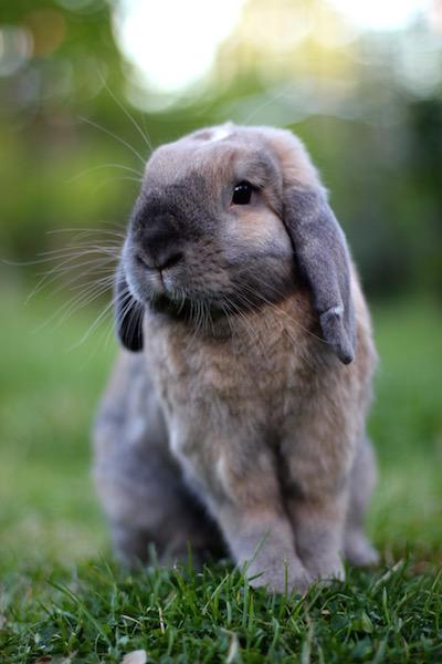 Even har fjernet ørevoks hos veterinær flere ganger.Han har også fått dårligere hørsel og kan heller ikke kommunisere med ørene. Foto: Marit Emilie Buseth
