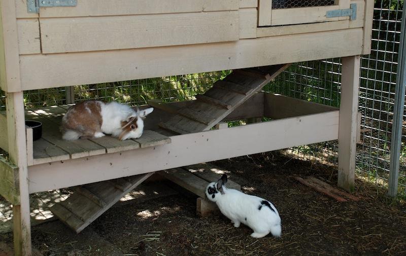 Charlotte og Stein har et åpent bur som base i en større luftegård. Å ha kaninhus som er hevet over bakken gir fin skygge og populære tilholdssted.   Foto: Marit Emilie Buseth