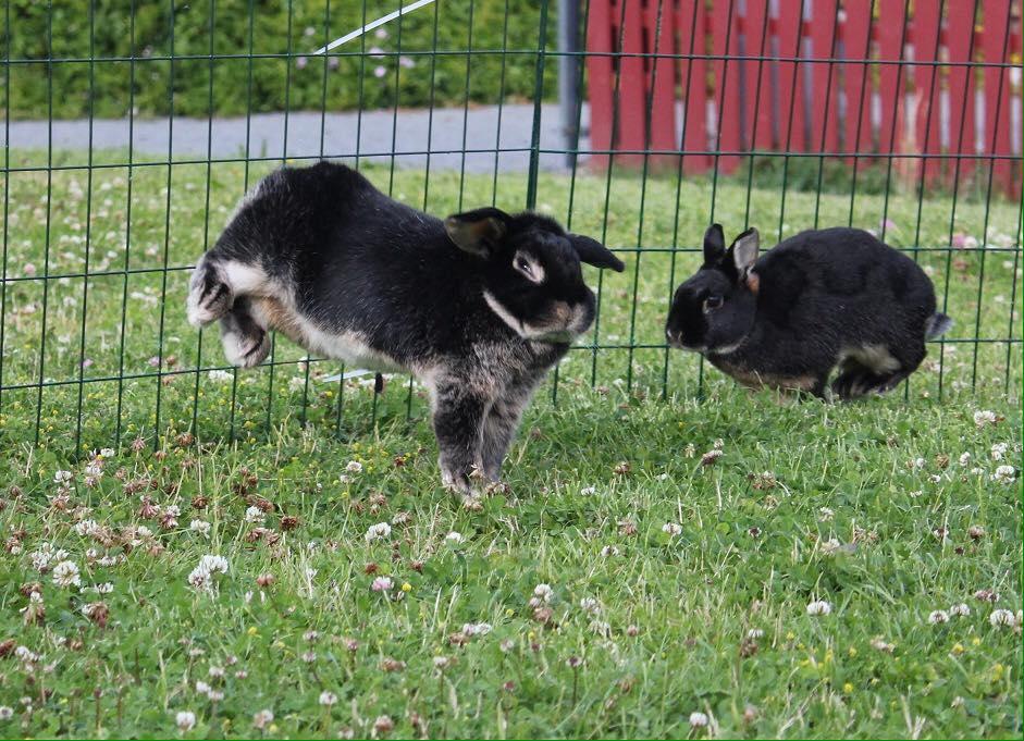 Glade og friske kaninrumper i lek og fart. Harald og Melis.  Foto: Marit Emilie Buseth