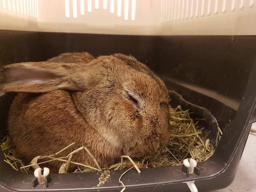 Hviler etter inngrepet. Hun var på klinikken til hun var kvikk og våken og hadde spist.