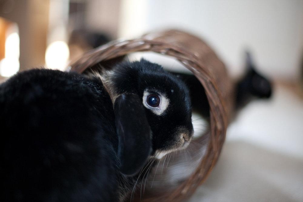 Viktig å vite før du får deg kanin -