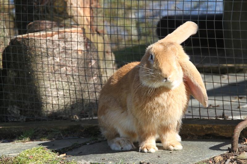 Bamse ble reddet av  Norges Kaninforening  og var i fosterhjem på Brattholmen Omplassering