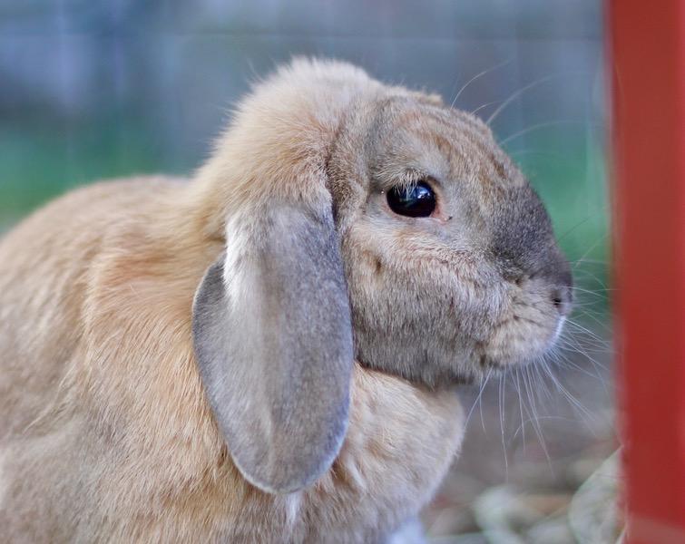 Generelt om kanin — Den store kaninboka