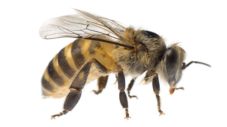 thinkstockphotos-184220993-honey_bee_web.jpg