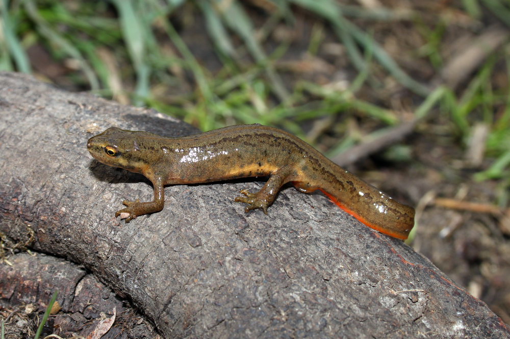 Only a single species of amphibian has been recorded in the Park, this being the smooth newt  Triturus vulgaris . No reptiles have been recorded in the Park. However, the slow worm  Anguis fragilis , common lizard  Lacerta vivpara  and the introduced red-eared terrapin have been recorded.