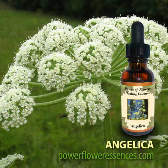 Angelica Flower Essence - helps those who are seeking practical solutions to soulful inquiries. Establish a firm connection between heaven and earth!
