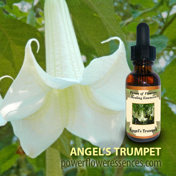 Angel's Trumpet Flower Essence - helpful for those pointed toward a profound shift in consciousness. This essence mirrors the soul's need to journey into transition.