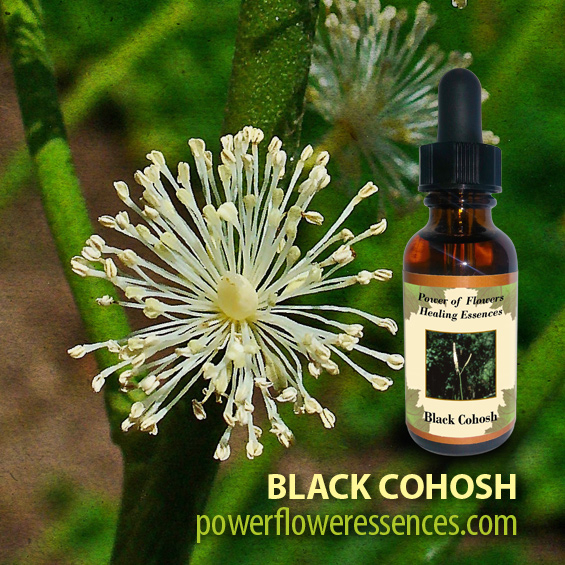 Black Cohosh Flower Essence - a powerful remedy of transformation. It allows the chord of addiction, attachment, and denial to be released. Bleeding Heart- healing broken hearts due to loss