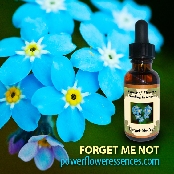 Forget Me Not Flower Essence - enhances awareness of karmic connections in one's personal relationships.