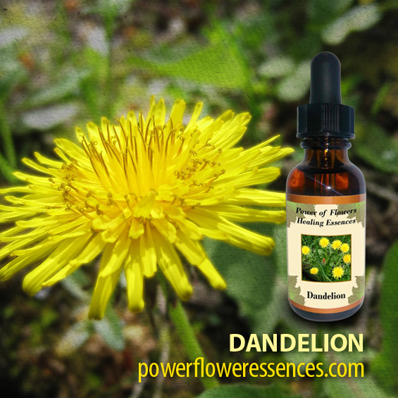 Dandelion Flower Essence - allows one to release rigid and unbending thought forms and body language. This flower essence helps those who struggle with compulsive behaviors.