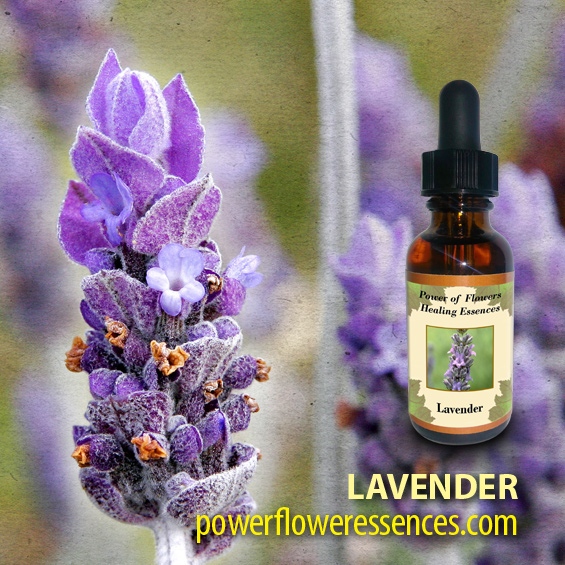 Lavender Flower Essence - washes one's energetic field, and soothes and heals a shattered soul force when mental and spiritual properties have become overly burdened.