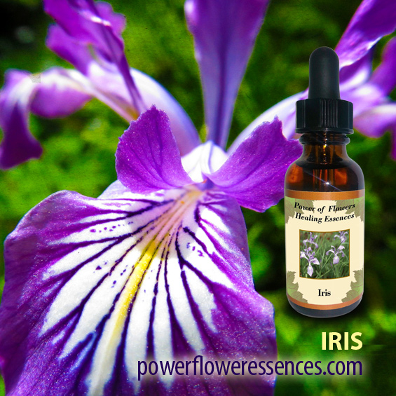 Iris Flower Essence - nurtures the hardened aspects of procrastination, lack of inspiration, and dullness within. It is perfect for anyone engaged in or exploring creative arts.