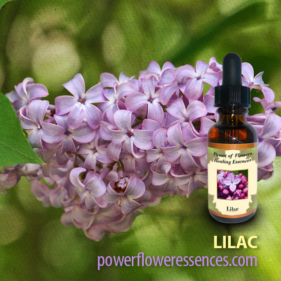 Lilac Flower Essence -helps us to relax into the joy of being. It is perfect for those seeking a less hectic inner life.