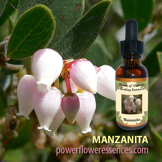 Manzanita Flower Essence - helps to uplift our attitude concerning body image, assisting people suffering from eating disorders of any kind, and helping those sensitive souls who have a difficult time living in the physical body.