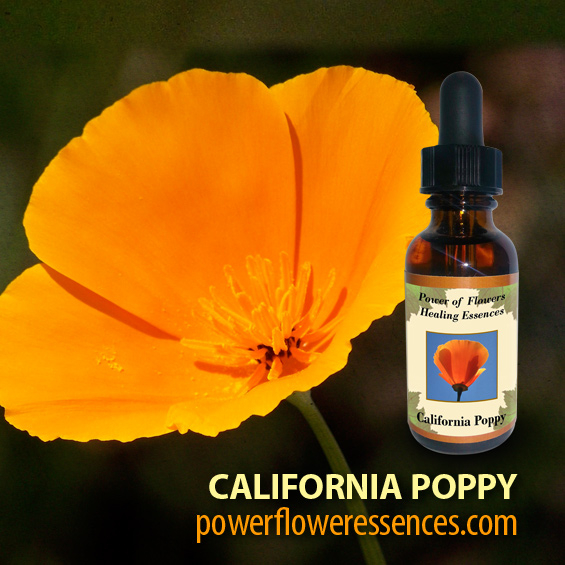 California Poppy Flower Essence - ignites intuition and awareness of dreams and imagination and helps those who have clairvoyant gifts. It helps with the clearing of addictions and drug abuse.